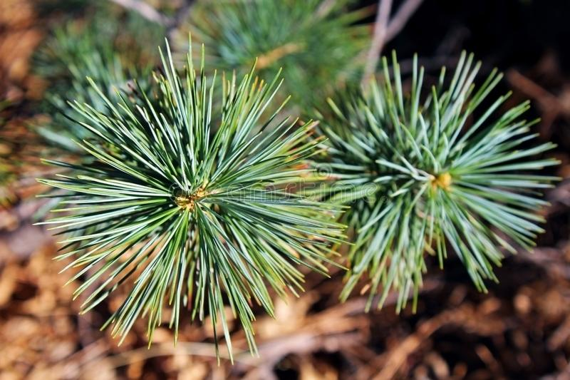 Larch And Pine Stock Image. Image Of Panoramic, Pure