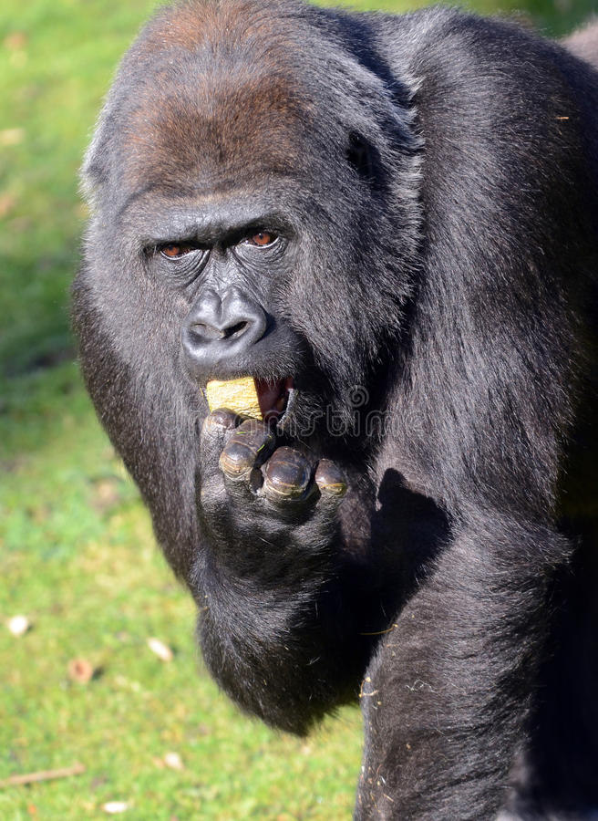 Download Western Lowland Gorilla stock photo. Image of eating - 23069376