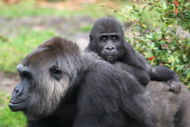 Western lowland gorilla stock image