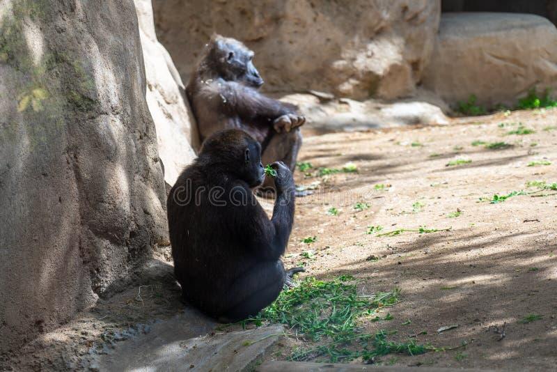 Western Lowland Gorilla in Barcelona Zoo stock image