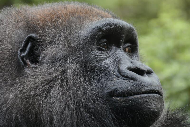 Western lowland gorilla,. Bronx Zoo, New York, NY royalty free stock photo