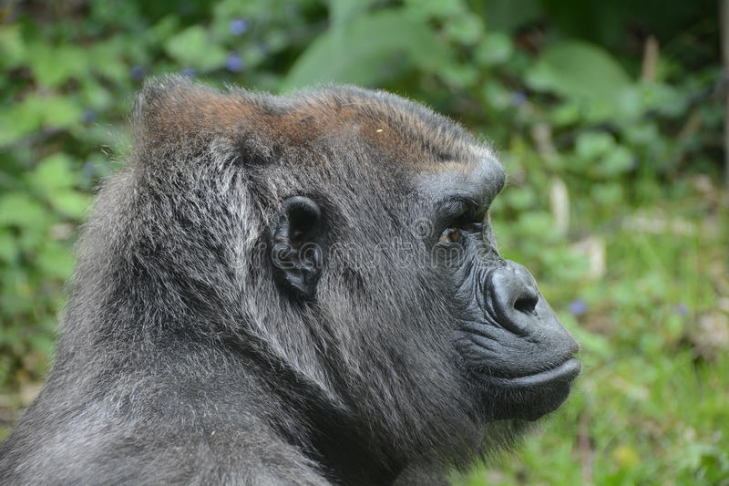 Western lowland gorilla,. Bronx Zoo, New York, NY royalty free stock images