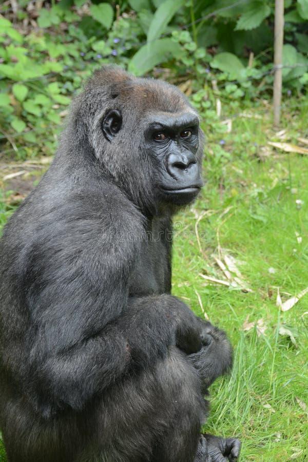 Western lowland gorilla,. Bronx Zoo, New York, NY royalty free stock photography