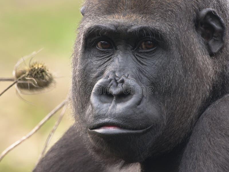 Western lowland gorilla female royalty free stock photography