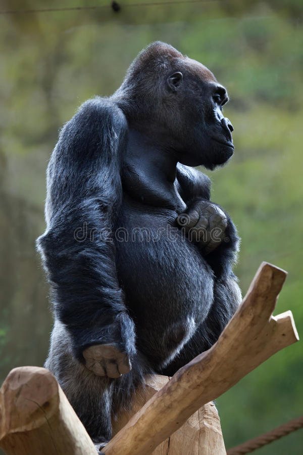 Western lowland gorilla (Gorilla gorilla gorilla). Wild life animal stock photo
