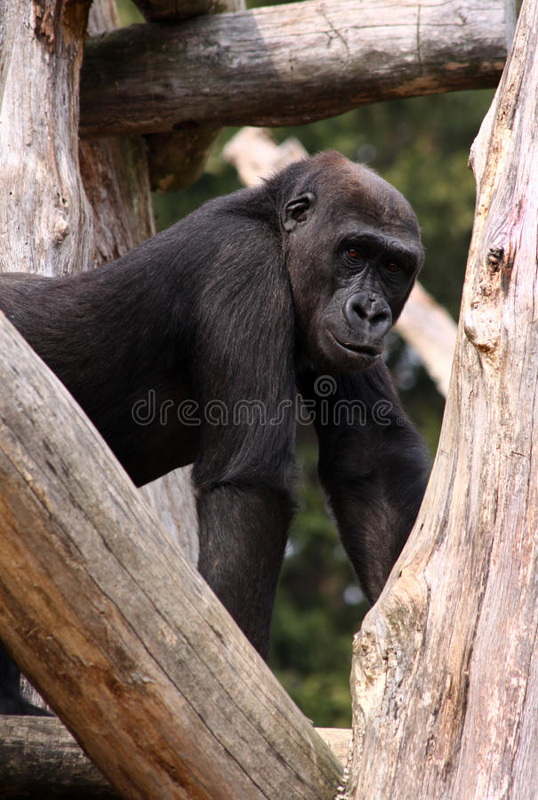 Western Lowland Gorilla at National Zoo royalty free stock photos