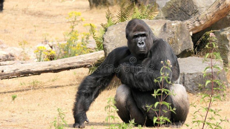 Western lowland gorilla, silverback stock photos