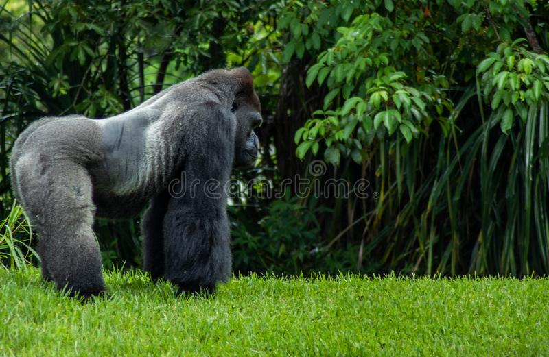 Western Lowland Gorilla Standing in Grass on Sunny Day royalty free stock photo