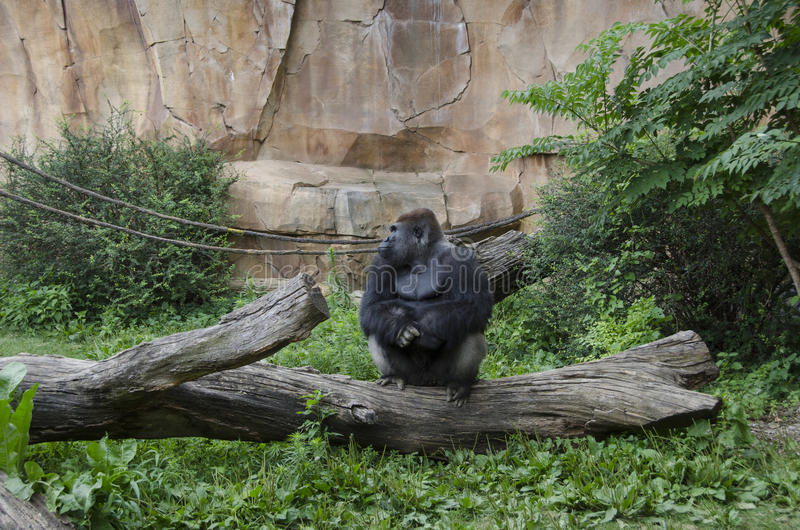 Western Lowland Gorilla in Zoo stock photo