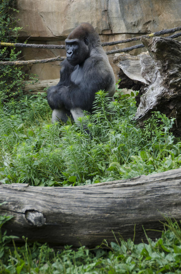 Western Lowland Gorilla in Zoo stock photos