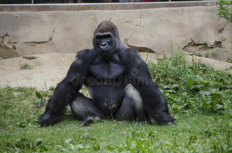 Western Lowland Gorilla in Zoo royalty free stock photography