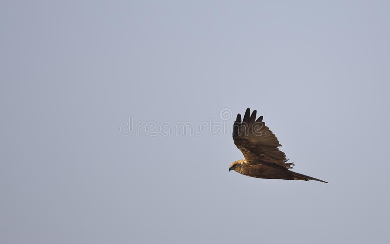 Download Western marsh harrier stock photo. Image of feather, marsh - 34886832