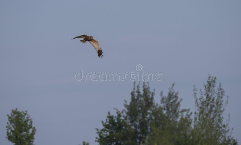 Western marsh harrier Circus aeruginosus flying over tree crowns aganst clear blue sky stock image