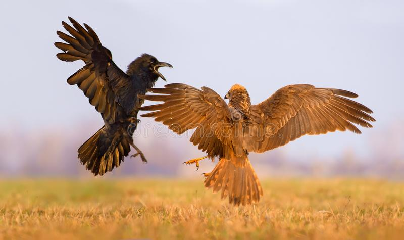 Western Marsh Harrier and Common Raven battle against each other in air over some meadow field stock photography