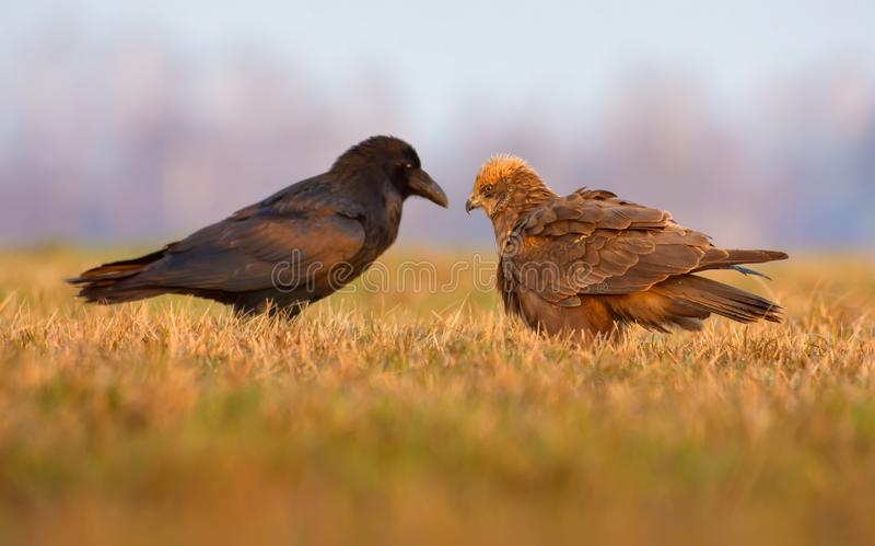 Western Marsh Harrier and Common Raven sit close to each other and speek with open beaks stock image