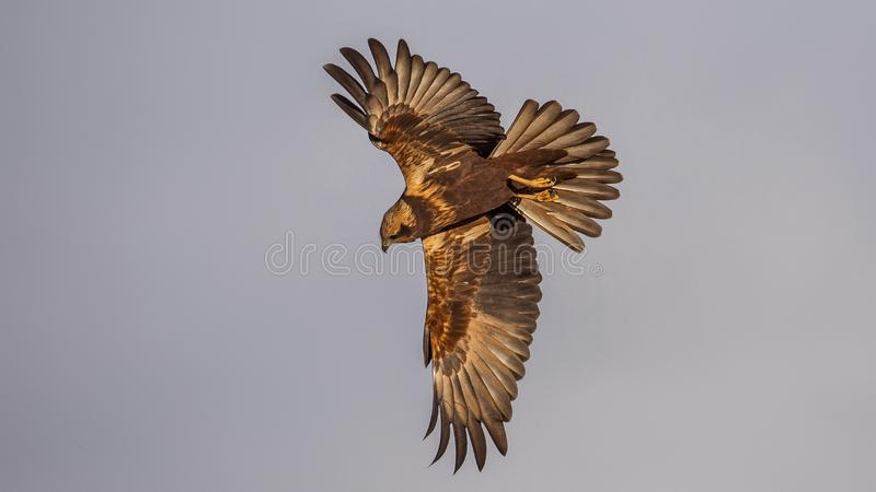Western Marsh Harrier in Diving Position. Western marsh harrier, Circus aeruginosus, is about to dive in for her prey on clear blue sky