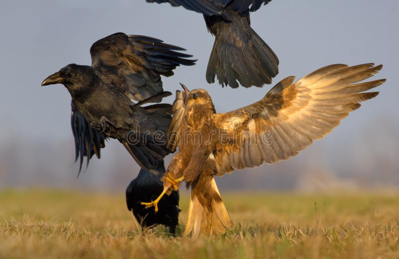 Western Marsh Harrier fights and tries to kill a Common Raven with stretched claws and fully wide spreaded wings royalty free stock images