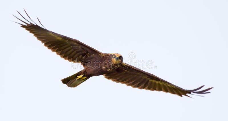 Western Marsh harrier looks interested in swift flight royalty free stock images