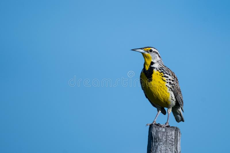 Download Western Meadowlark On A Fence Post Stock Photo   Image Of Lark,  Detail: