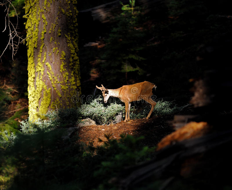 Western Mule Deer in a spotlight