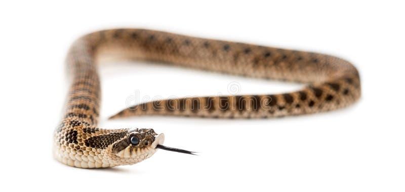 Western ostrożnie wprowadzać wąż, Heterodon nasicus fotografia royalty free