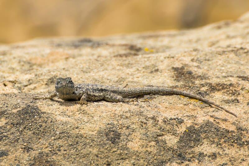Western Płotowa Błyskawiczna jaszczurka sunning na Kalifornia skale fotografia stock