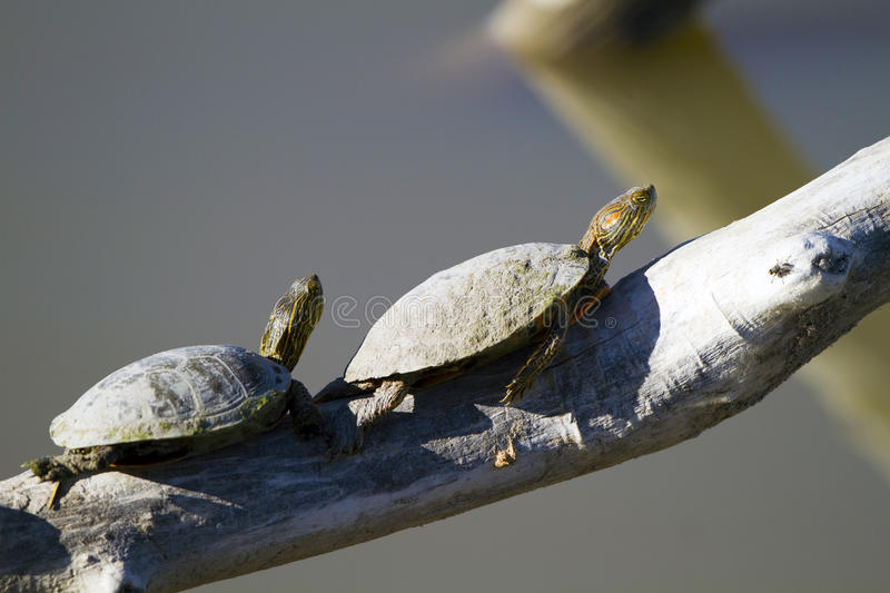 Download Western Painted Turtle, Chrysemys Picta Stock Photo - Image: 14774010