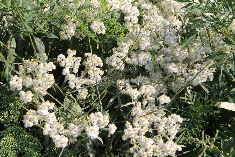 Western pearly everlasting white flowers. Western pearly everlasting or Anaphalis margaritacea white flowers royalty free stock photos
