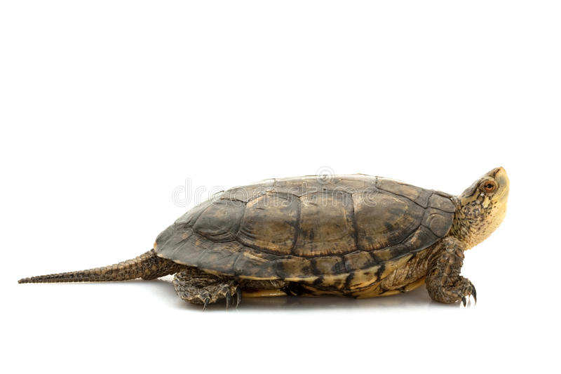Western Pond Turtle Royalty Free Stock Photo