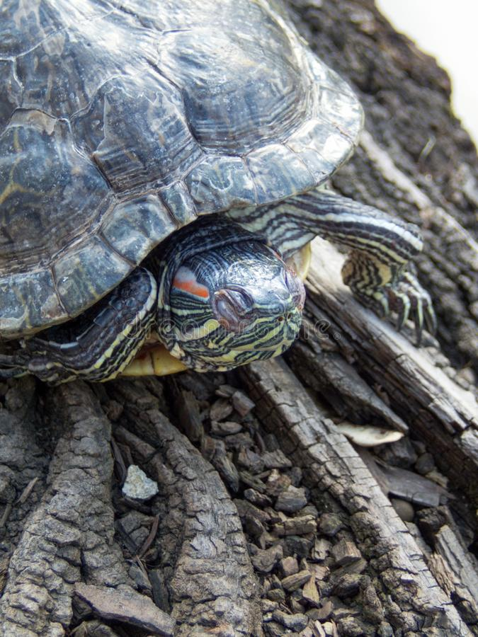 Western pond turtle stock image