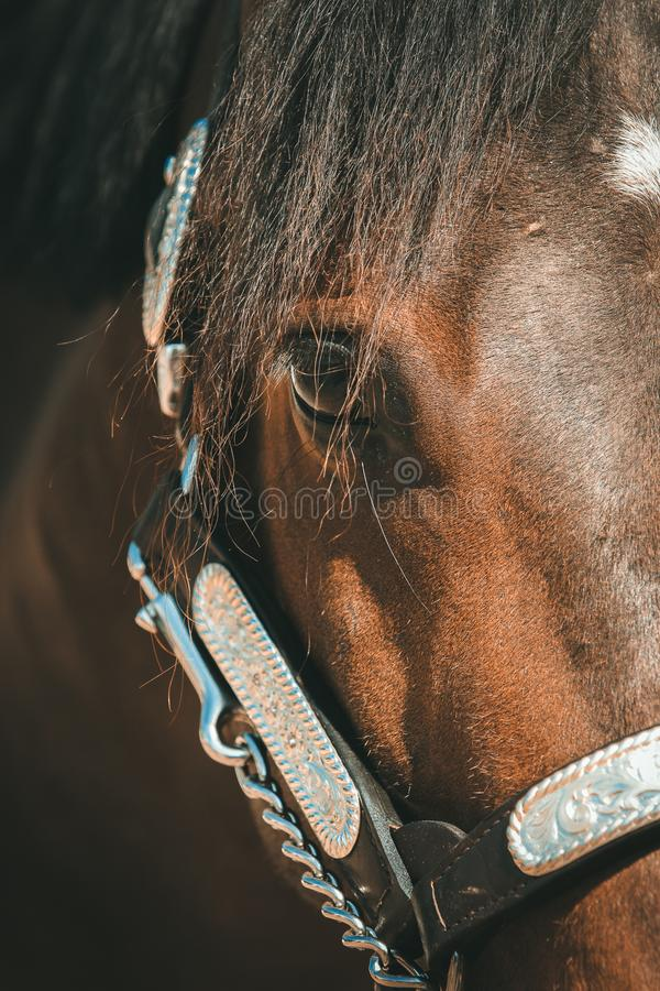 Western pony with show halter in portraits stock photo