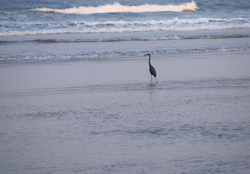Western Rafowa czapla stoi w wodzie morskiej przy artykuły plażą, India - Egretta Fularis - obraz stock