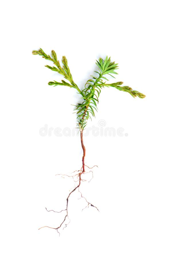 Western red cedar seedling stock image