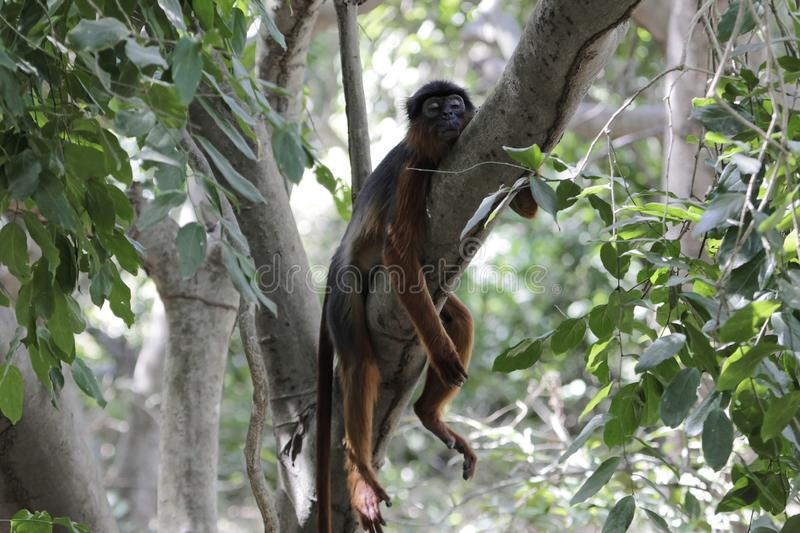 Western red colobus Procolobus badius resting on a branch royalty free stock photo