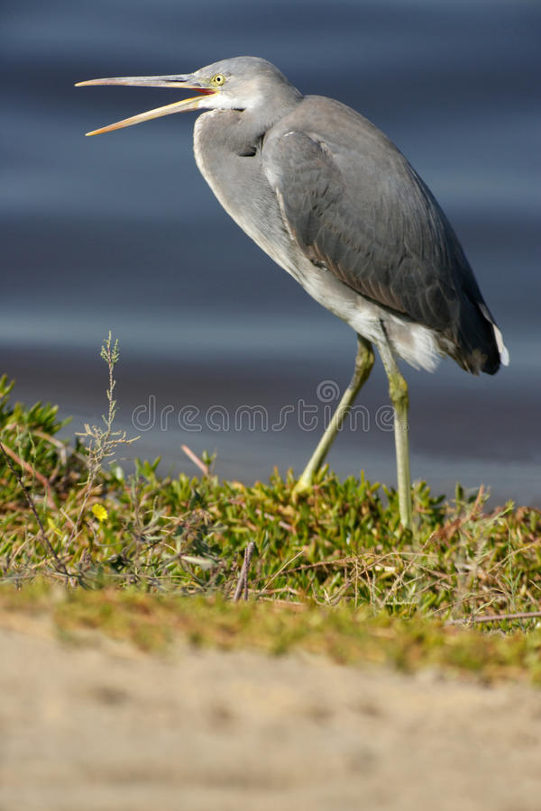 Western Reef Heron royalty free stock images