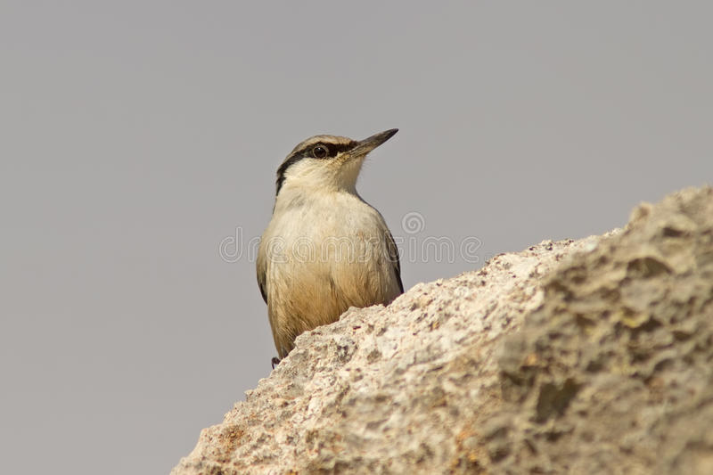 Download Western Rock Nuthatch On The Rock Royalty Free Stock Images - Image: 30364339