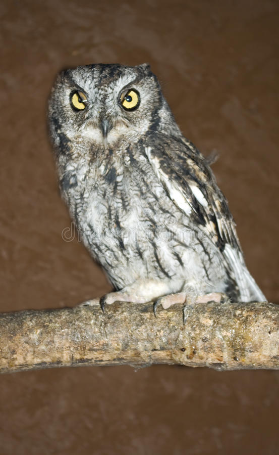 Western Screech Owl Royalty Free Stock Photo