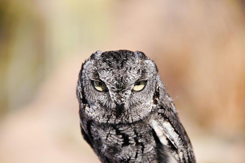 Download Western Screech Owl stock photo. Image of closeup, western - 13203562