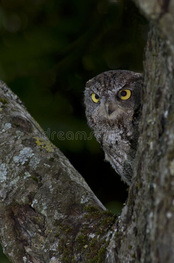 Western Screech Owl stock photography