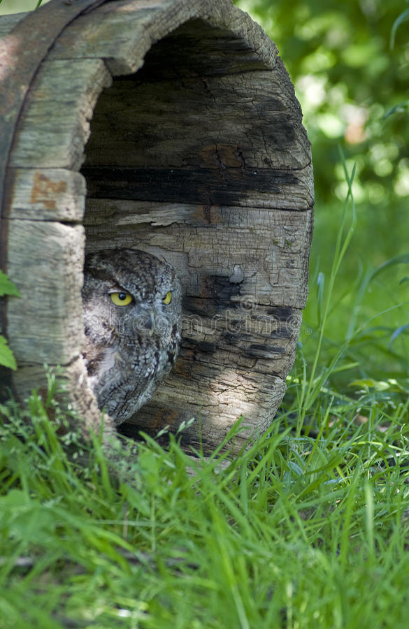 Western Screech Owl stock images