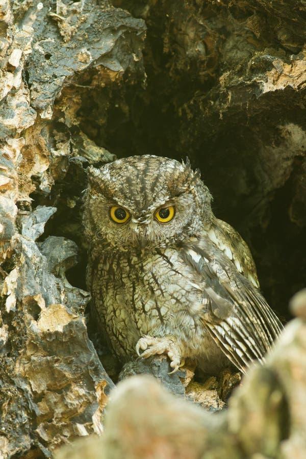Western screech owl sits in an oak tree stock image