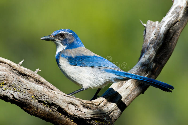 Download Western Scrub Jay stock photo. Image of tree, feather - 14140592