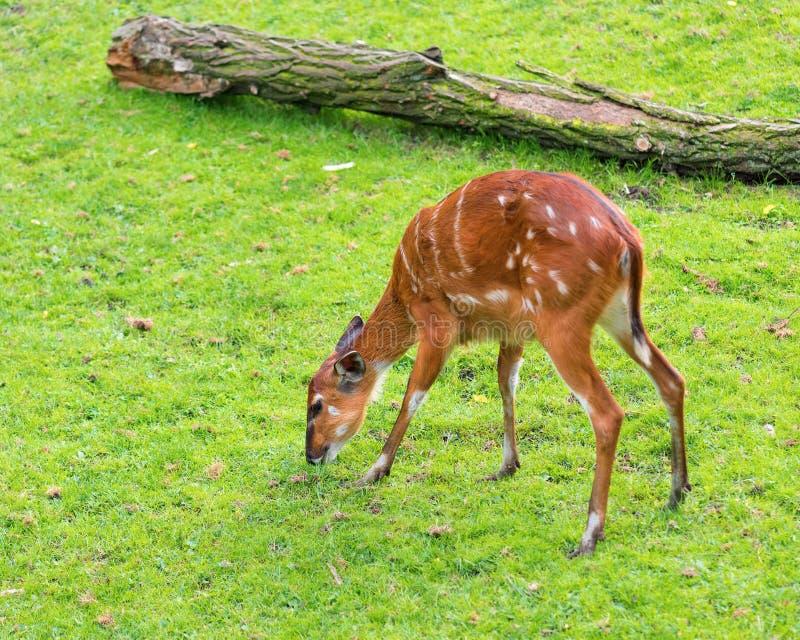 Western Sitatunga eating grass. Western Sitatunga (Tragelaphus spekii gratus). Activity of young Sitatunga female antelope eating grass. Pasture of wild animal stock photos