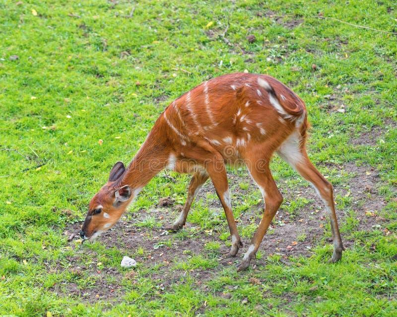 Western Sitatunga eating grass. Western Sitatunga (Tragelaphus spekii gratus). Activity of young Sitatunga female antelope eating grass. Pasture of wild animal royalty free stock photography