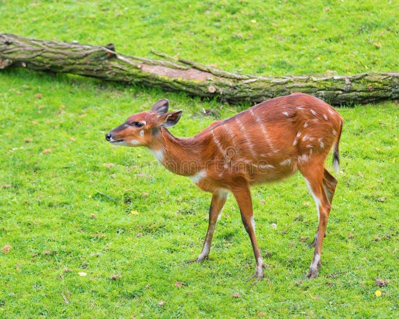 Western Sitatunga eating grass. Western Sitatunga (Tragelaphus spekii gratus). Activity of young Sitatunga female antelope eating grass. Pasture of wild animal royalty free stock images