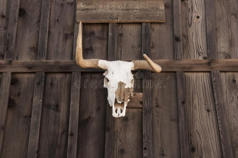 Western Skull Taxidermy Decor Farmhouse Style. Western Style Bull Head Skull Hanging Against Rustic Wood Wall royalty free stock photography