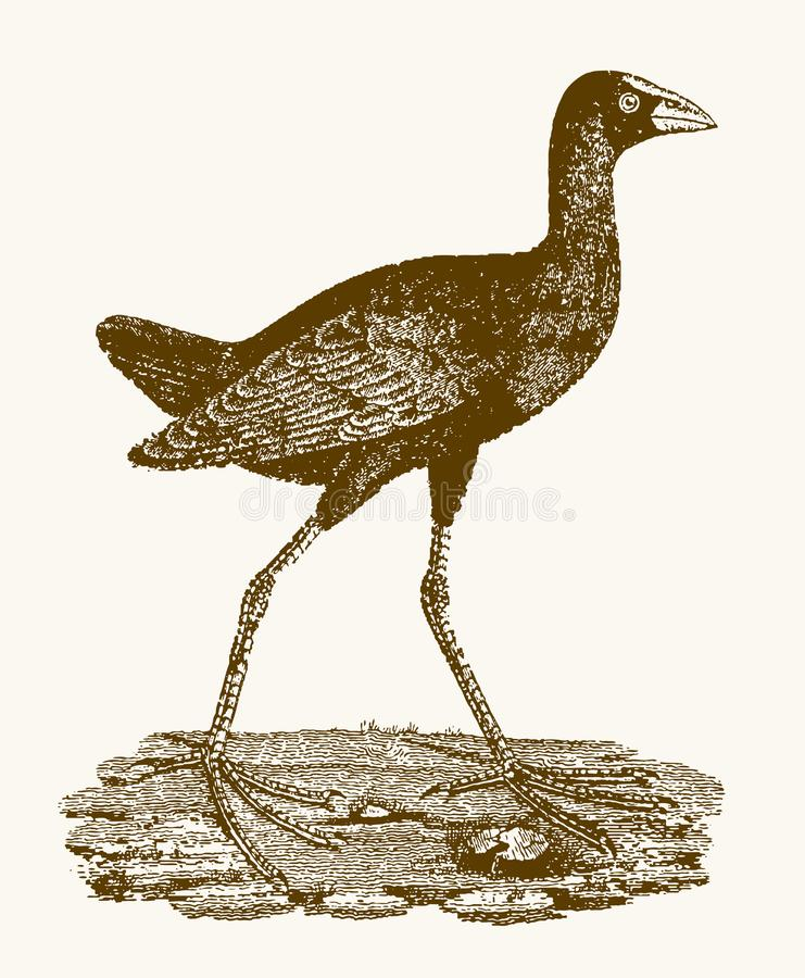 Western swamphen porphyrio porphyrio with large feet sitting on the ground. Illustration after a vintage engraving from the 19th century royalty free illustration