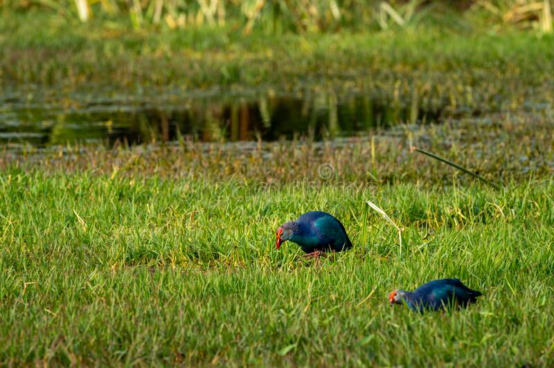 Western swamphen or Purple Moorhen or Porphyrio porphyrio in green grass background at keoladeo national park or bird sanctuary. Bharatpur, rajasthan, india stock photography