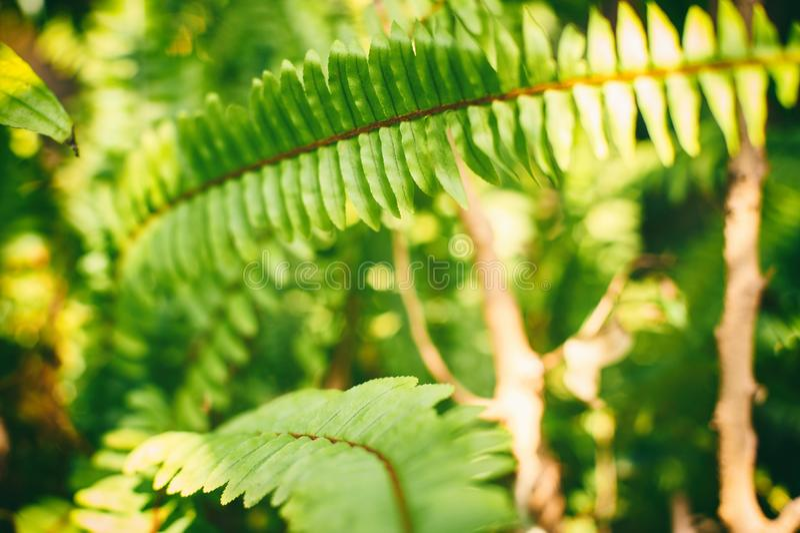 Western sword fern ,Polystichum munitum, Beautiful Ferns leaf in Forest royalty free stock photography