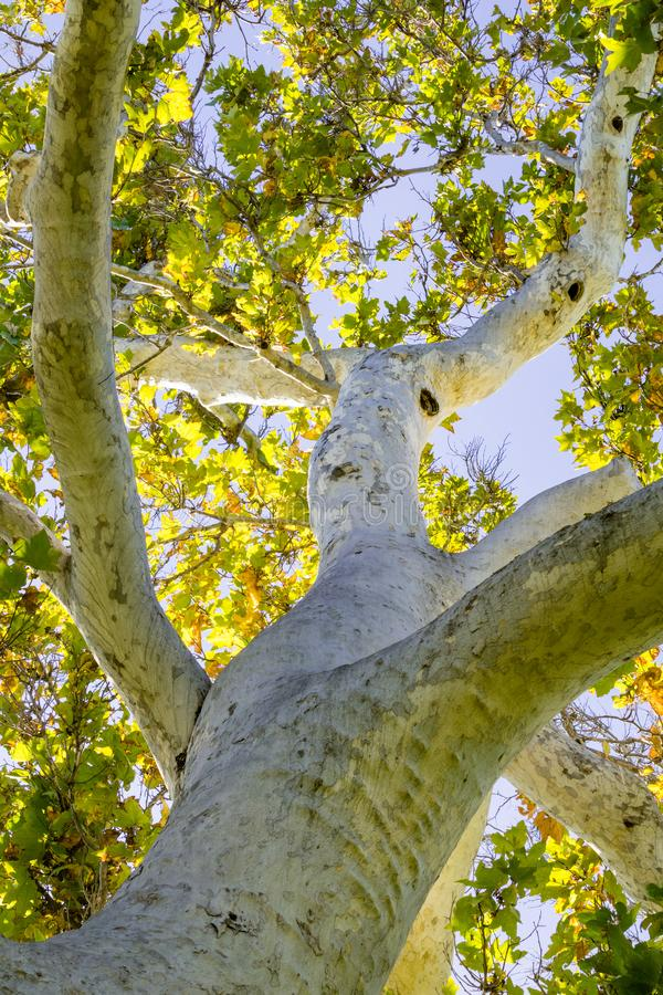 Western Sycamore tree Platanus racemosa seen from below, California stock photography